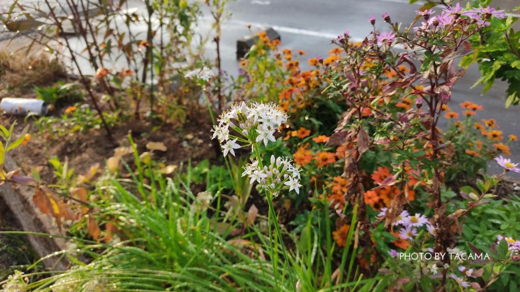 「白いちいさい花」