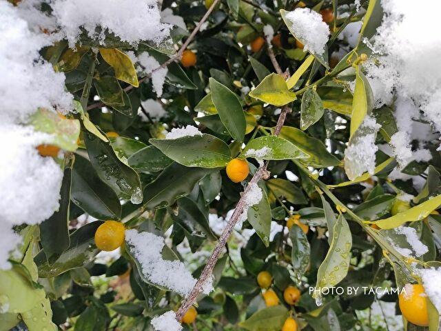 「雪の橙」